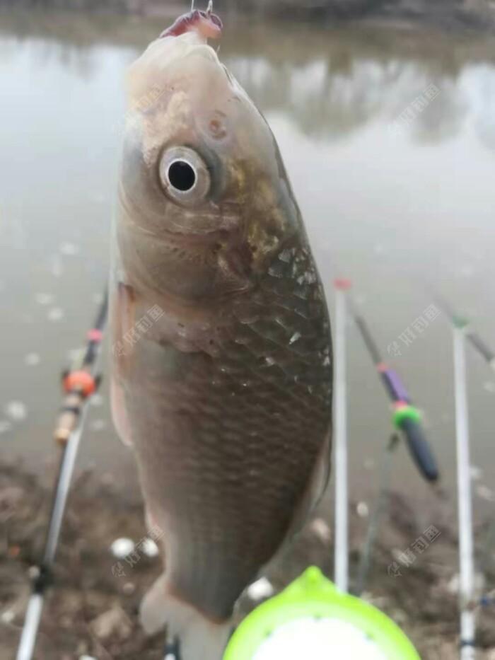 小鲫鱼双飞,船钉鱼没开始吃饵了,今天没啥杂鱼。。。今天鱼口不是很好,半天能给一口啊。