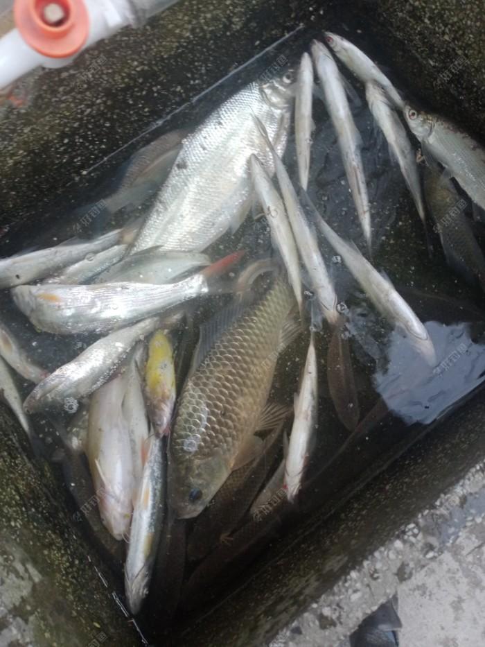 今天下午鱼获,钓时有小雨,钓点又滑,免拍照,弄不好充电口滴进一滴水就会在充电时坏掉手机。