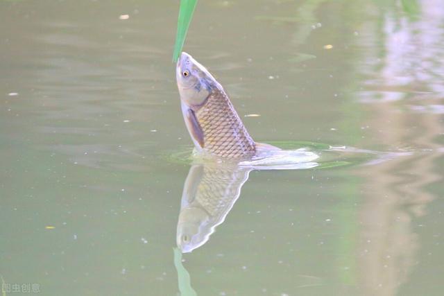 草鱼爱吃的饵料不在渔具店,而是在水边