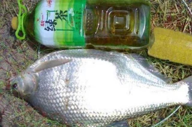 据说天气越热,这鳊鱼钓法反而更管用