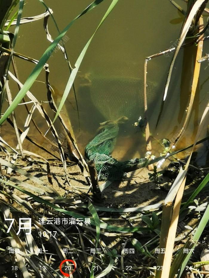 干了一个多小时,被对面芦柴竿子拉掉两只雷蛙,这叫出师未捷身先死,长使英雄泪满襟。