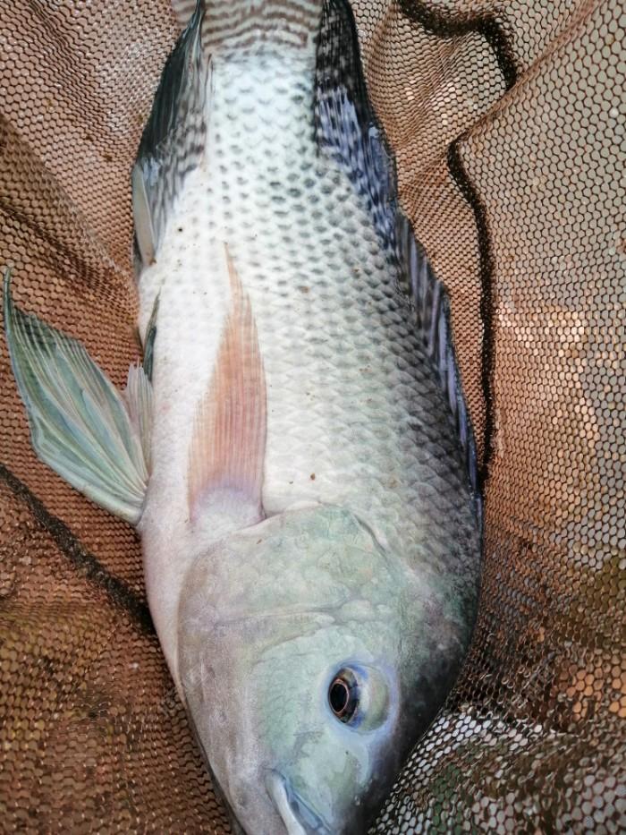今天最大的一条接近两斤,引得朋友放下鱼竿,前来观看。