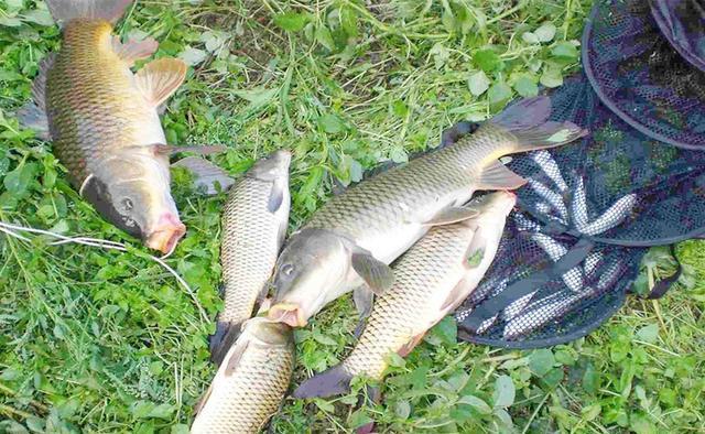 用这些钓法,仲秋时节专钓大鲤