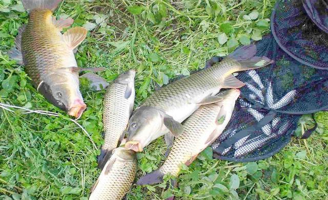 秋分前后钓鲤鱼,首选这几种天气