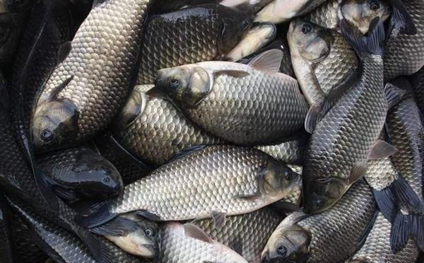 夏季夜钓大鲫鱼狠招数,渔获翻倍很容易