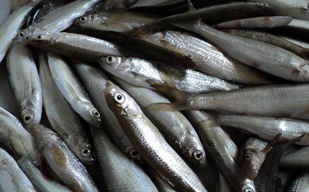 钓到白条、鳑鲏、麦穗这些小鱼你是怎么处理