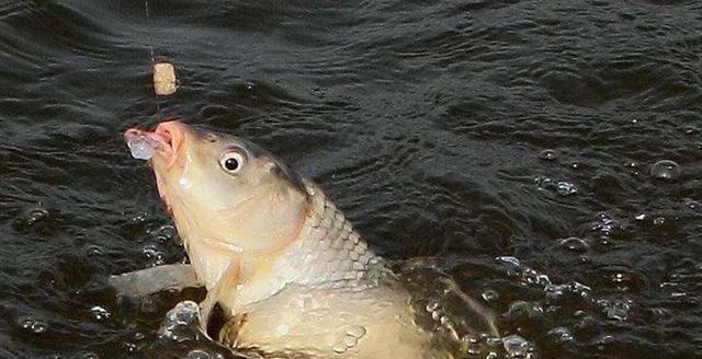鱼咬石头诱鱼剂这么神奇?抹石头上鱼也吃?为什么