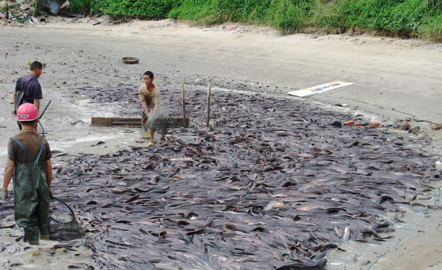 这才是真正的垃圾鱼,长得丑还吃鱼卵,一旦泛滥后果很严重